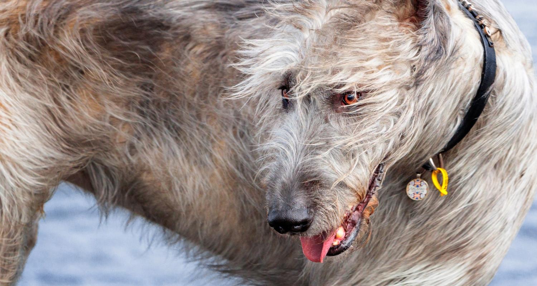 dogprojectdog-GALAHAD