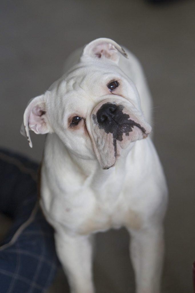 Melbourne Pet Photographer, white bull dog Photograph