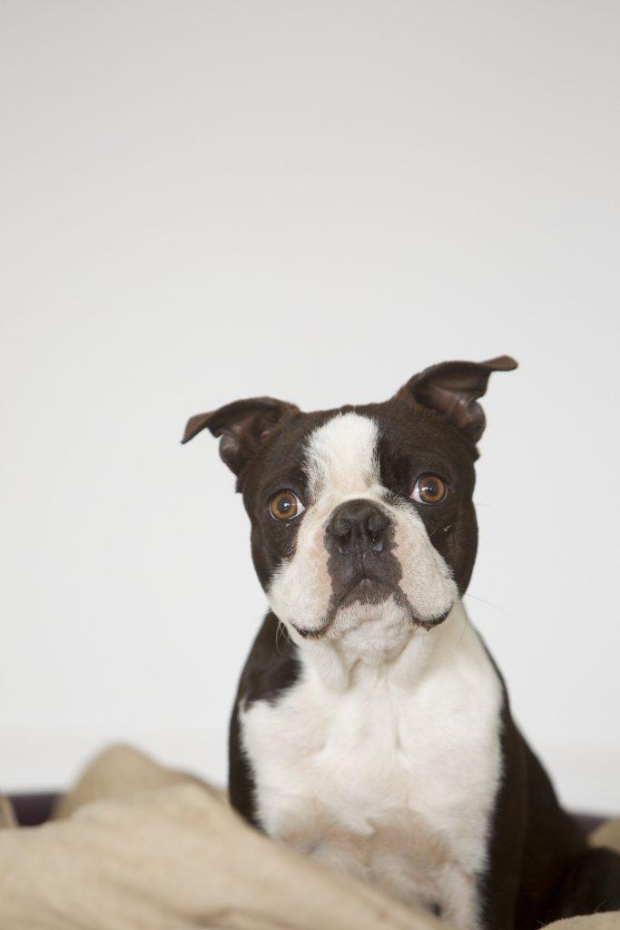 Melbourne Pet Photographer, dog staring at camera Photograph