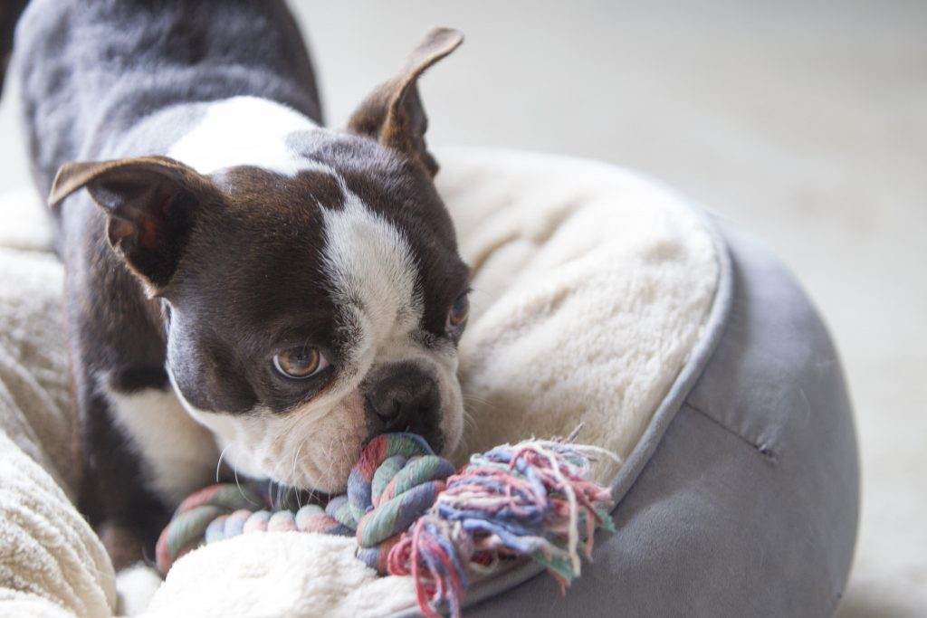 Melbourne Pet Photographer, dog chewing on toy Photograph