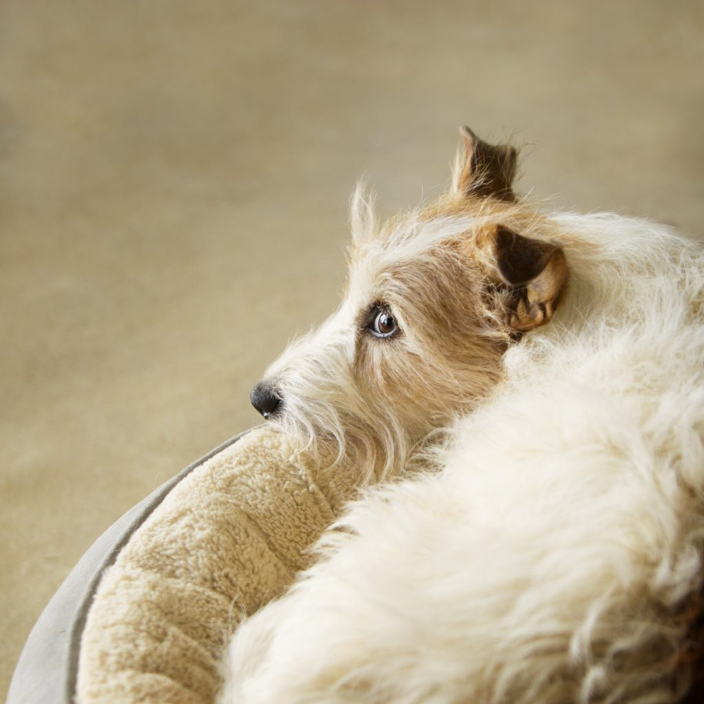 Melbourne Pet Photographer, white and tan dog in bed Photograph