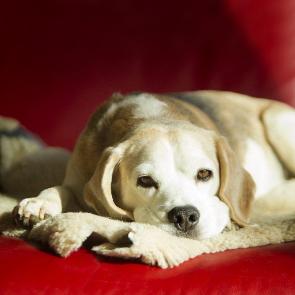 Melbourne Pet Photographer, white dog on blanket Photograph