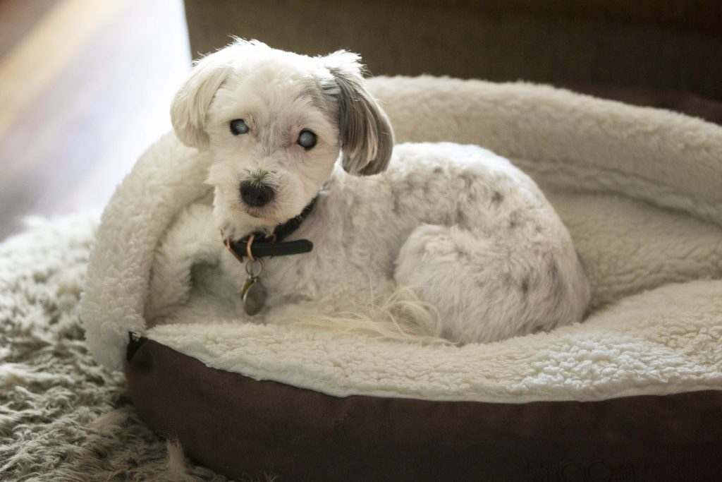 Melbourne Pet Photographer, white dog in bed Photograph