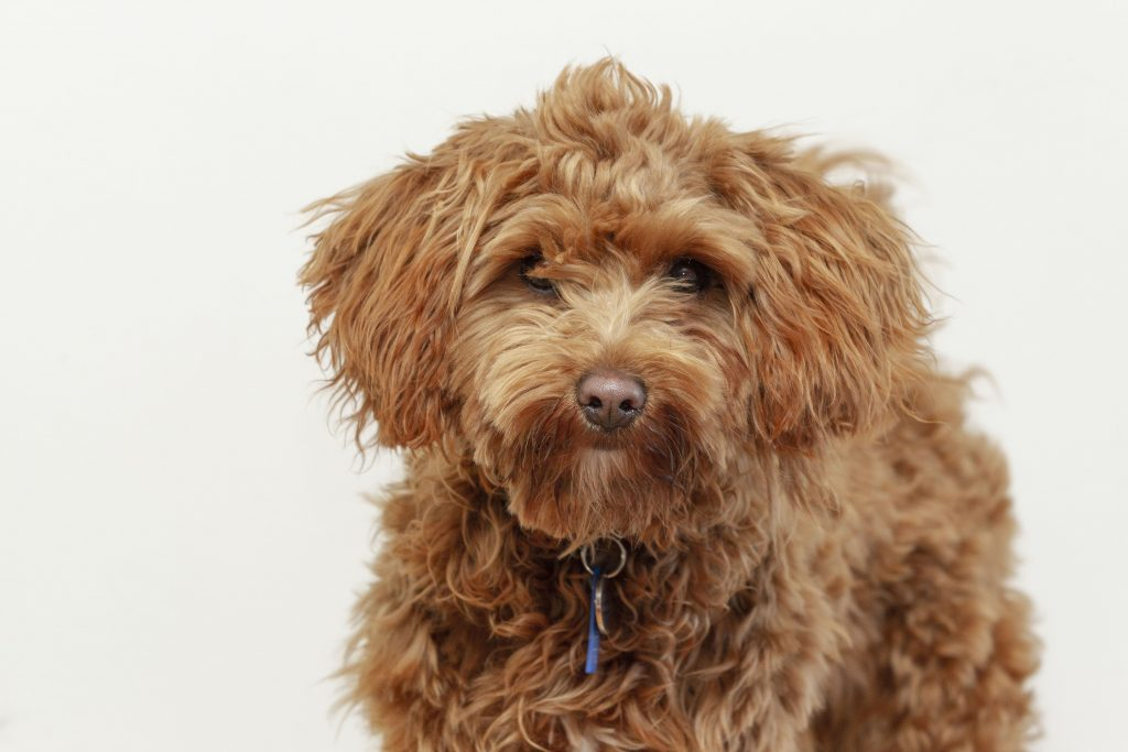 Melbourne Pet Photographer, fluffy brown dog Photograph
