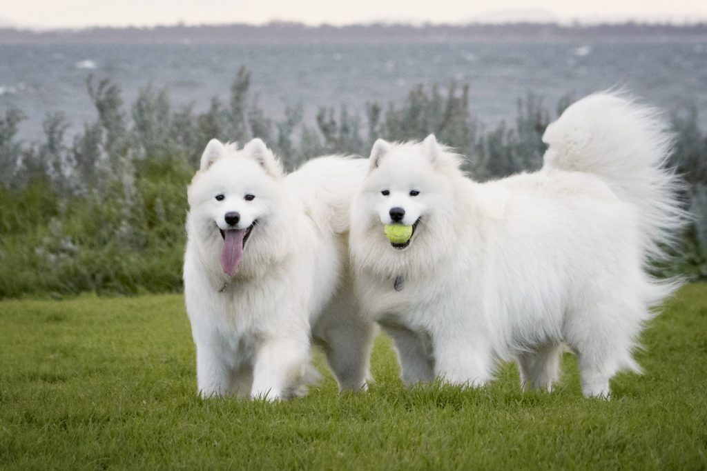 Melbourne Pet Photographer, 2 big white dogs with ball in field Photograph