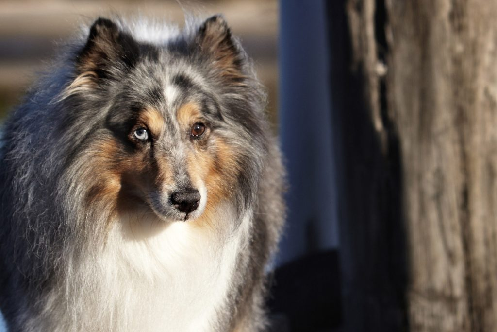 Melbourne Pet Photographer, big dog with two different coloured eyes Photograph