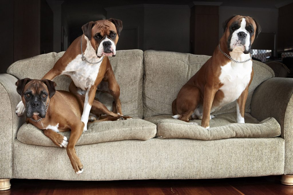 Melbourne Pet Photographer, 3 boxer dogs Photograph
