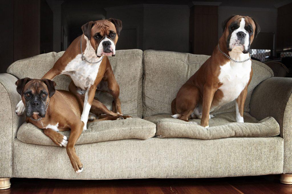 Melbourne Pet Photographer, 3 boxer dogs Photograph