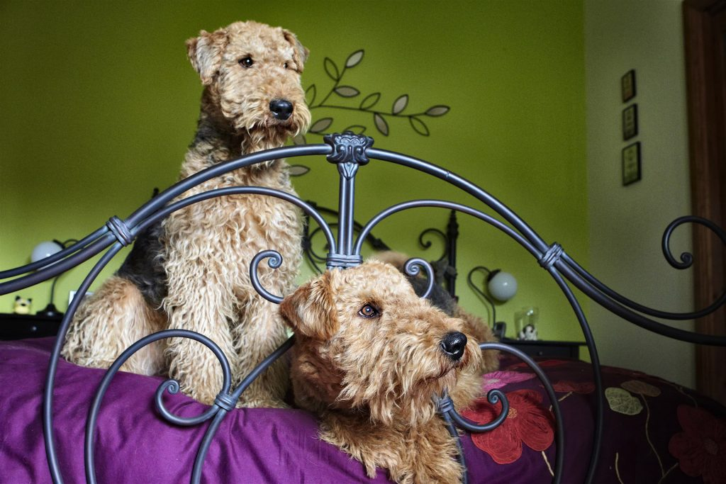 Melbourne Pet Photographer, two dogs on bed Photograph