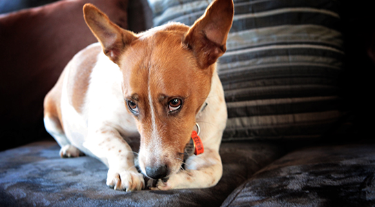 Melbourne Pet Photographer, jack russell Photograph