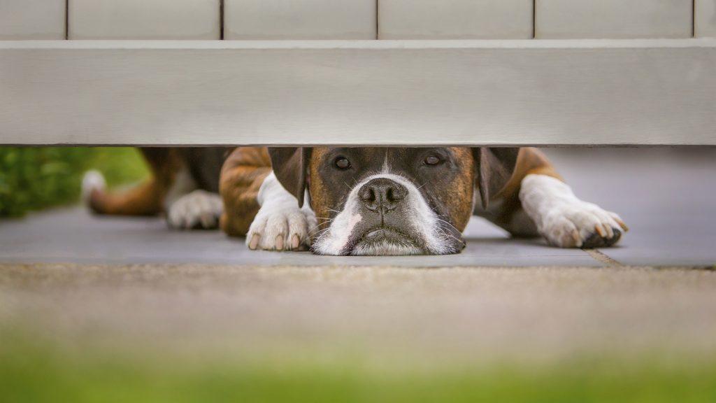 Melbourne Pet Photographer, dog looking under fence Photograph