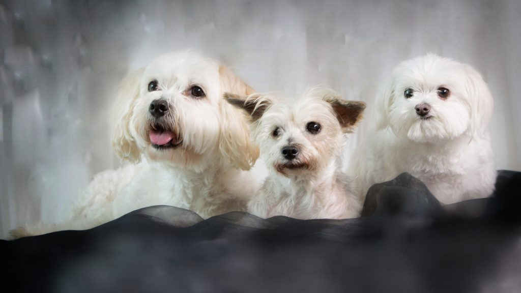Melbourne Pet Photographer, 3 white fluffy dogs Photograph