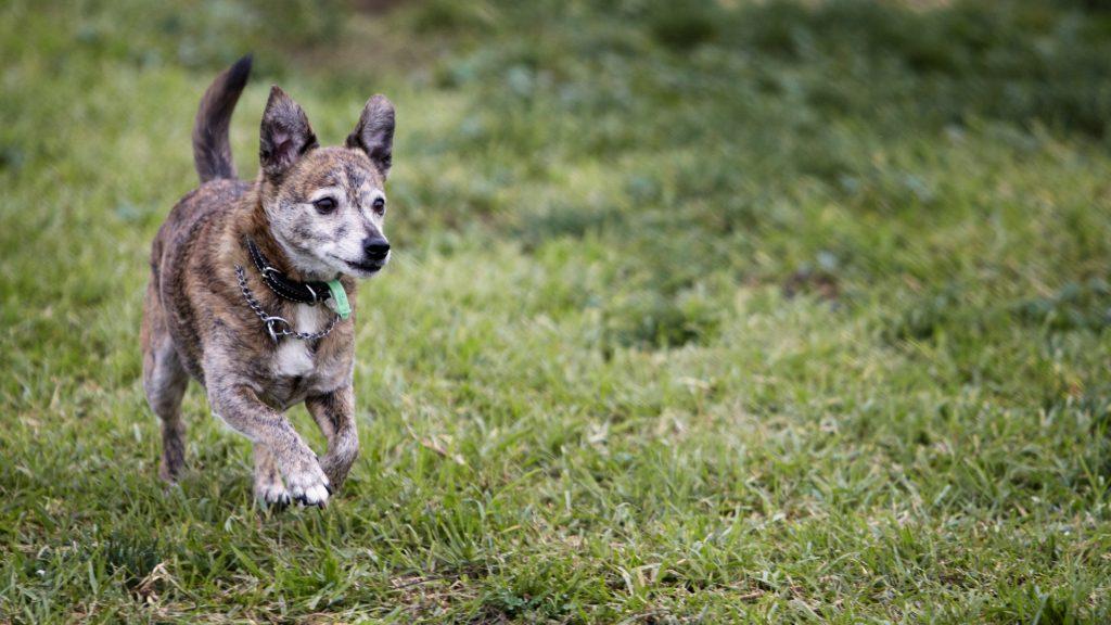 Melbourne Pet Photographer, small dog running Photograph