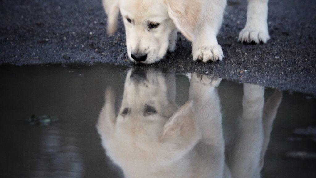 Melbourne Pet Photographer, white puppy Photograph