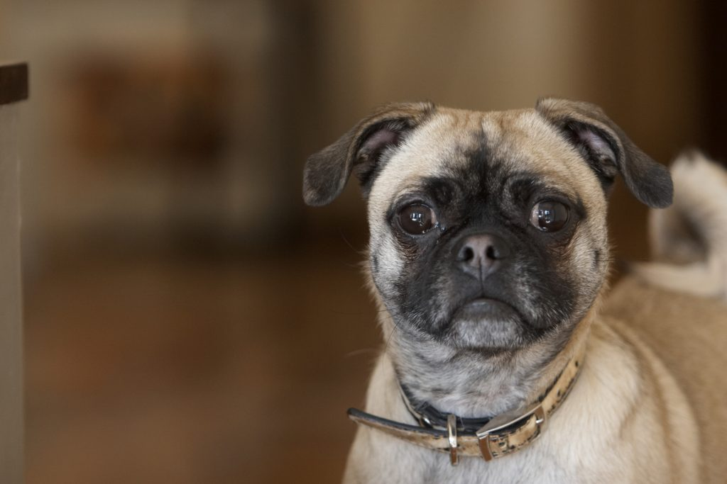 Melbourne Pet Photographer, pug Photograph
