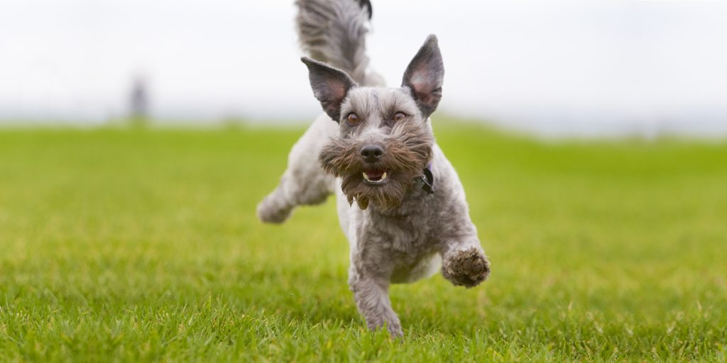 Melbourne Pet Photographer, schnauzer jumping Photograph