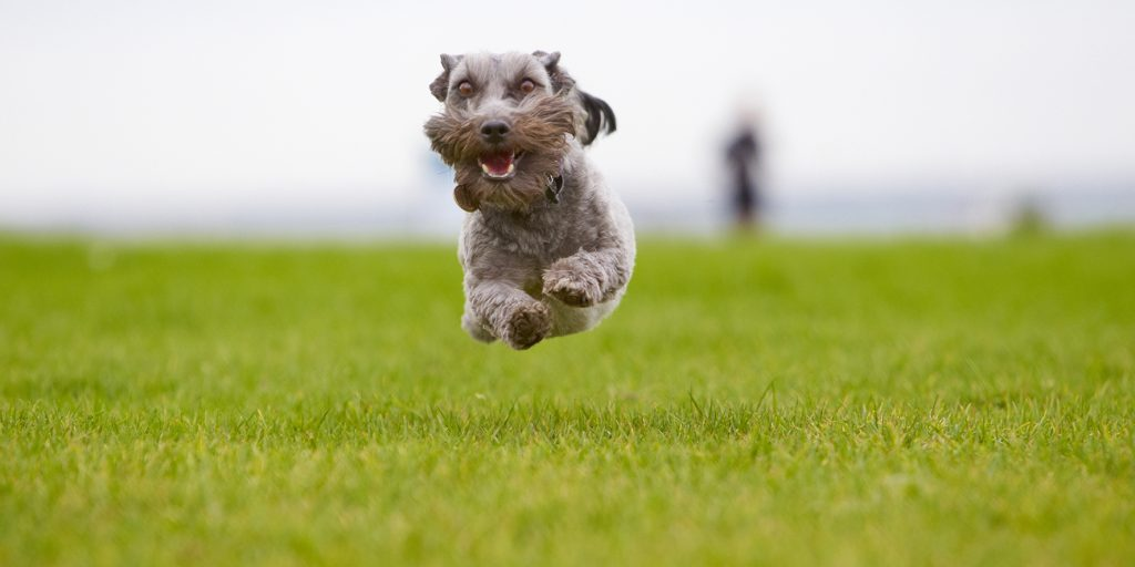 Melbourne Pet Photographer, schnauzer mid air Photograph