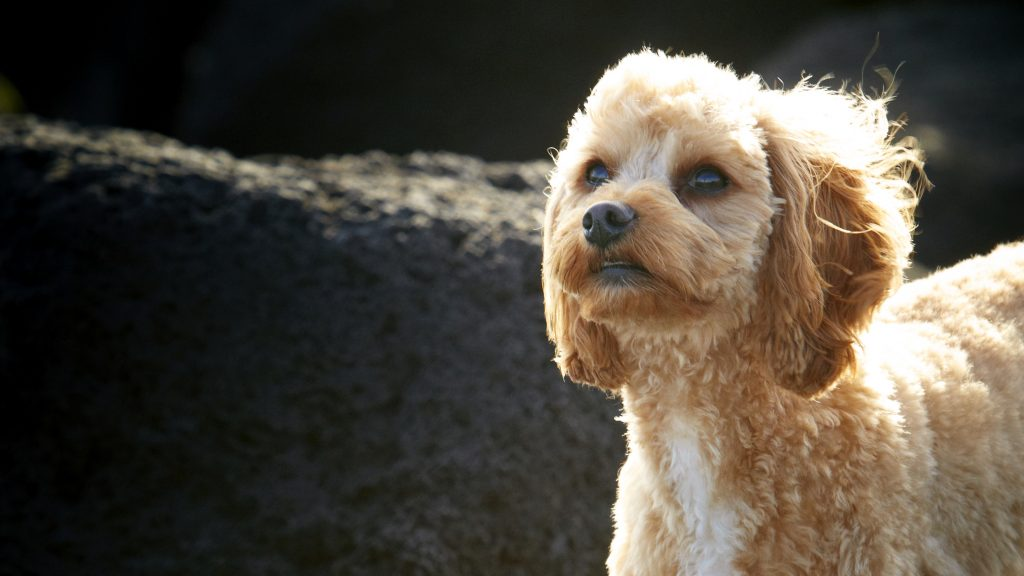 Melbourne Pet Photographer, fluffy apricot dog Photograph
