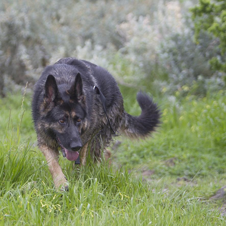 Melbourne Pet Photographer, black german shepherd wet Photograph