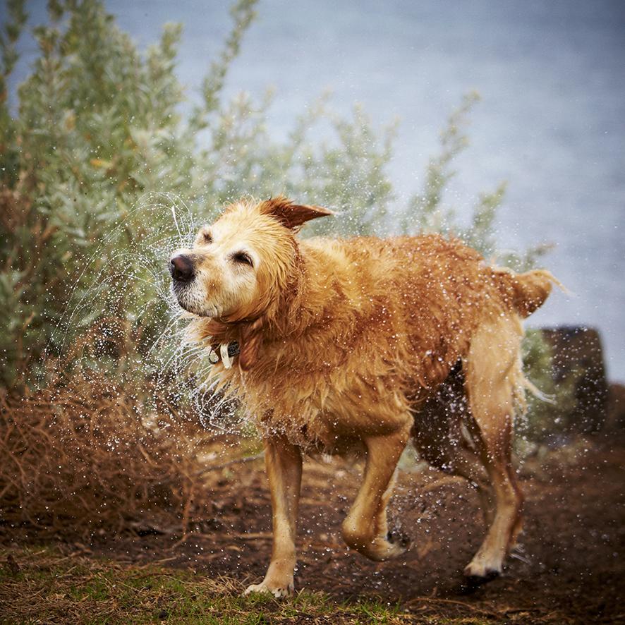 Melbourne Pet Photographer, Golden Retriever Shaking Water  Photograph