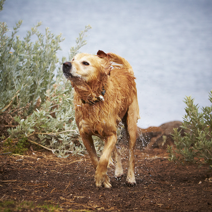 Melbourne Pet Photographer, Golden Retriever Shaking Water Off Photograph