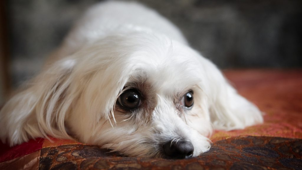 Melbourne Pet Photographer, white fluffy dog Photograph