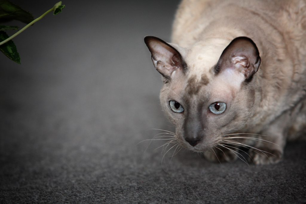 Melbourne Pet Photographer, pointed ears cat Photograph