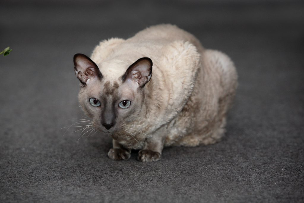Melbourne Pet Photographer, pointed ears cat Photograph