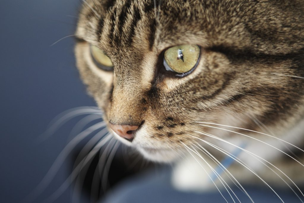 Melbourne Pet Photographer, tabby black cat full face Photograph