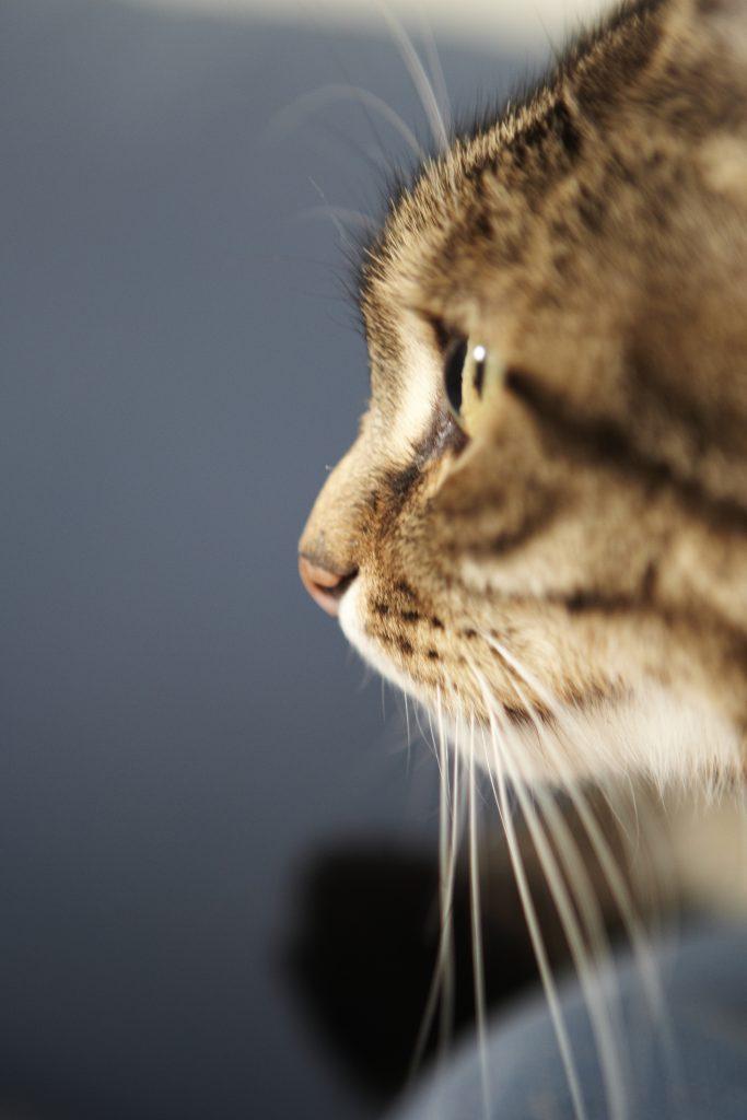 Melbourne Pet Photographer, tabby black cat side face Photograph