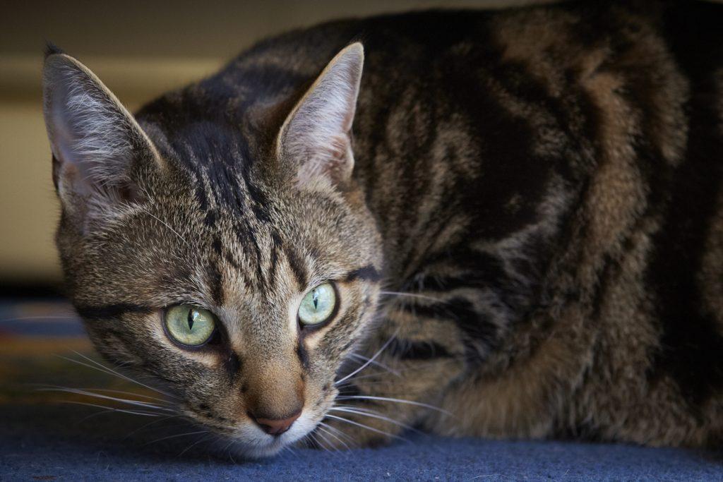 Melbourne Pet Photographer, tabby black cat Photograph