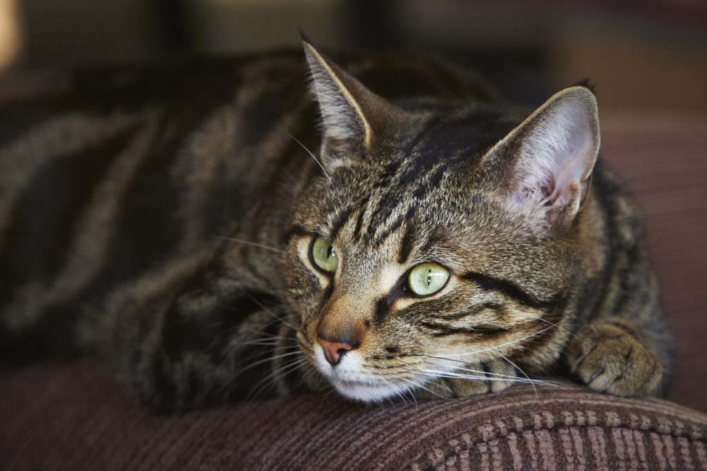 Melbourne Pet Photographer, tabby black cat green eyes Photograph