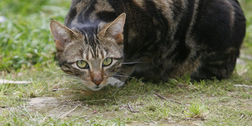 Melbourne Pet Photographer, tabby black cat in grass Photograph