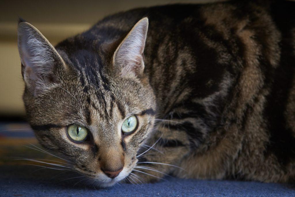Melbourne Pet Photographer, tabby black cat face Photograph