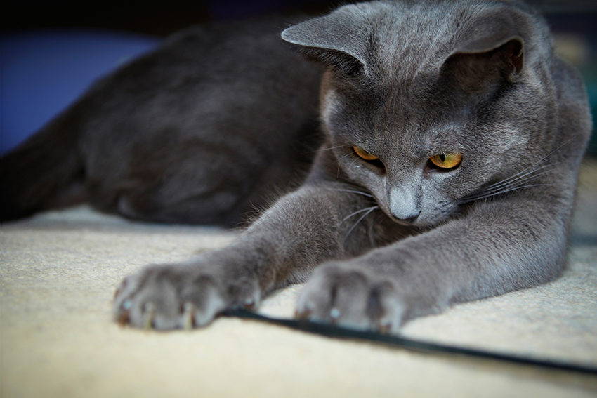 Melbourne Pet Photographer, grey cat Photograph