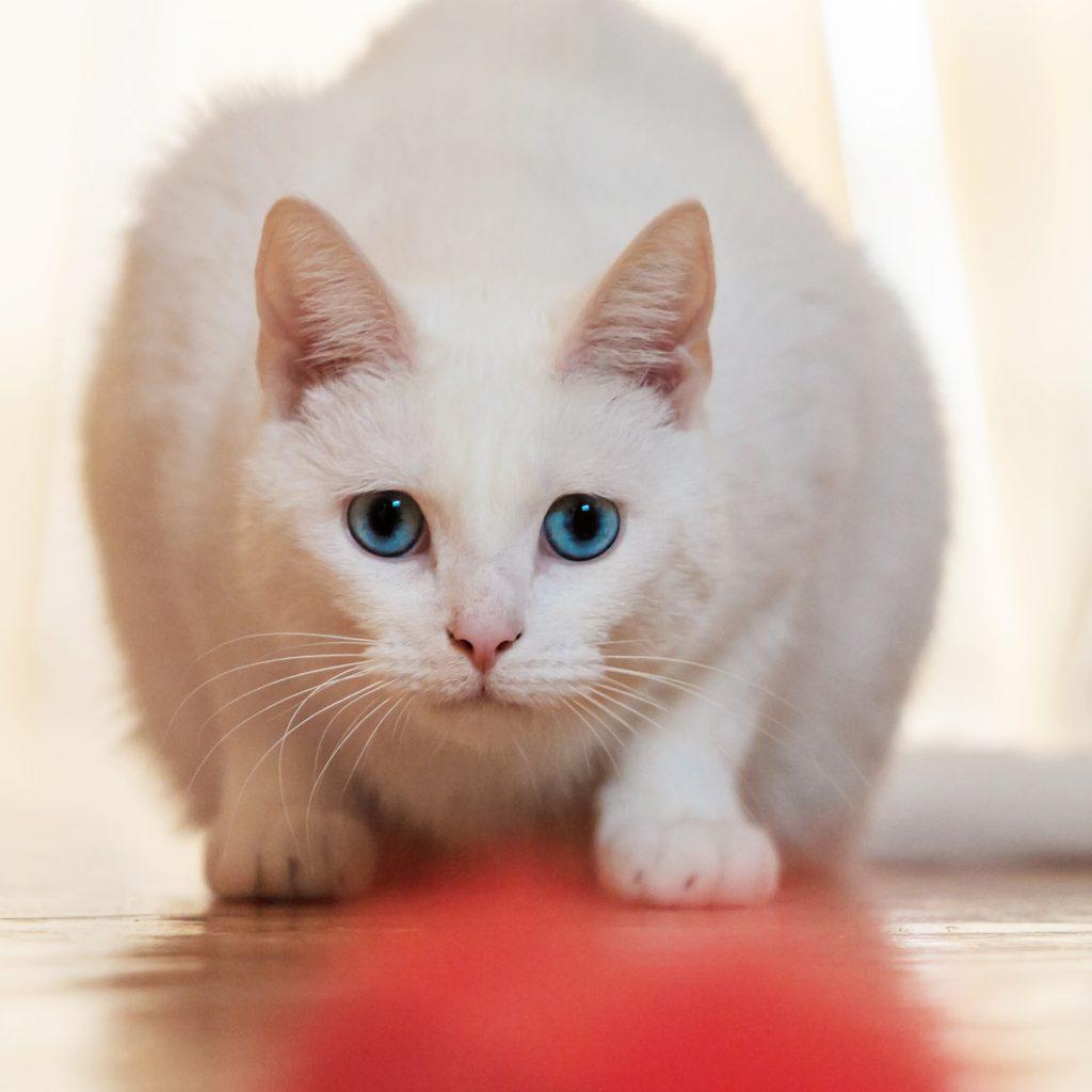 Melbourne Pet Photographer, white cat Photograph